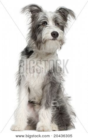 Mixed-breed dog, 7 months old, sitting in front of white background