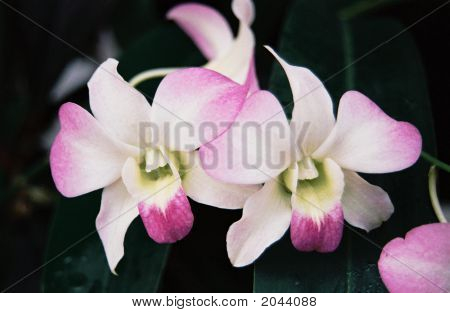 Orchids Of Beauty