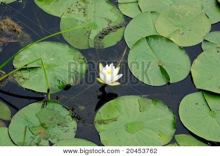 Lonely White Lilly in a Pond