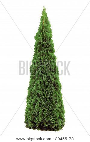 Thuja Occidentalis 'smaragd' Arborvitae Isolated On White