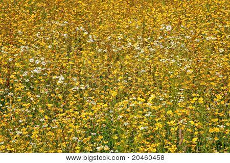 Flor Gronelândia