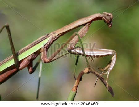 Adult Large Brown Mantid, Praying Mantis
