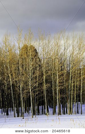Aspens Against A Dark Sky