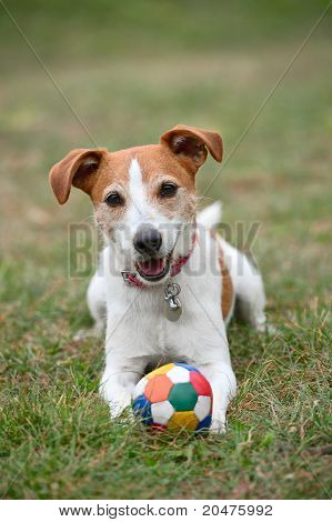 Parson Jack Russell Terrier Playing With A Ball On The Grass