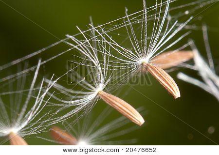 dandelion's umbel