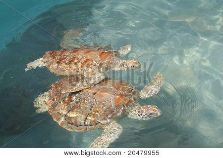 Sea Turtle Pair