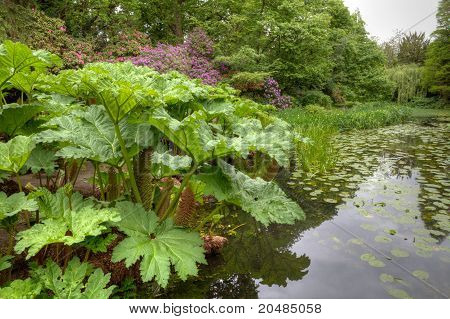 Gunnera Manicata large leafed plant