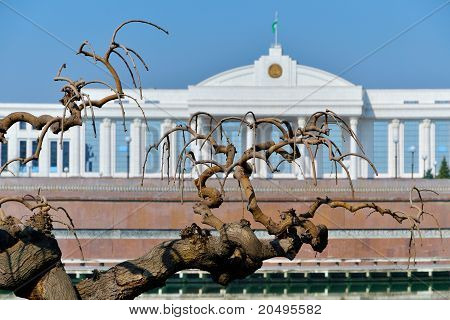 Old Mulberry Tree On The Background Of The Oliy Majlis Senate Of The Republic Of Uzbekistan