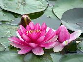 pic of water lilies  - Beautiful water lily - JPG