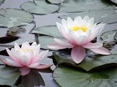 picture of water lilies  - Beautiful flowers of water lilies - JPG