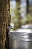 picture of maple tree  - Droplet of sap flowing from the maple tree into a pail for make pure maple syrup - JPG