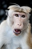 picture of tarzan  - Portrait of wild smart monkey with clever and calm look - JPG