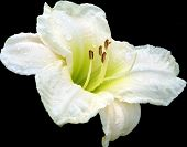 picture of white lily  - A dew covered white lily on black