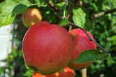 Big Red Ripe Apples On The Apple Tree, Fresh Harvest Of Red Apples, Seasonal Works In Orchard, Fruit poster