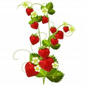 foto of strawberry plant  - Ripe red strawberry isolated on white background - JPG