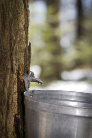 foto of maple tree  - Droplet of sap flowing from the maple tree into a pail for make pure maple syrup - JPG