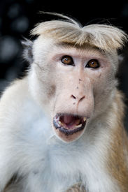 stock photo of tarzan  - Portrait of wild smart monkey with clever and calm look - JPG
