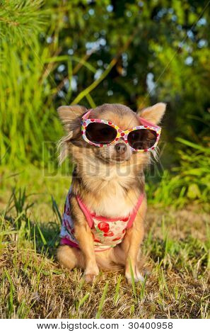 Chihuahua wearing sunglasses and t-shirt in the park