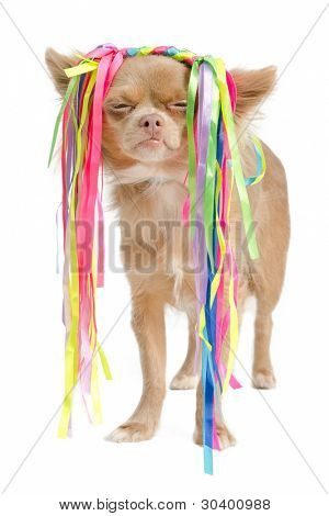 Chihuahua with eccentric hair style, against white