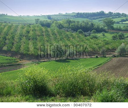 Tuscan orchard with alternating olive and cherry trees