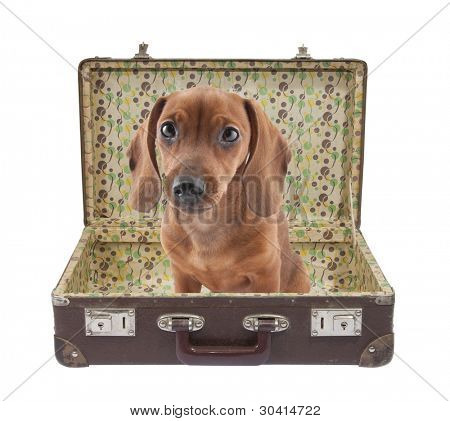 Dachshund puppy sits in a vintage suitcase with clipping path