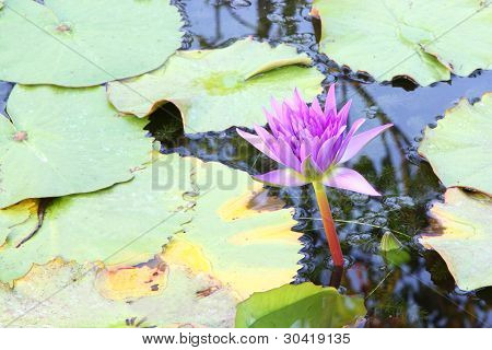Purple lotus flower in pond.