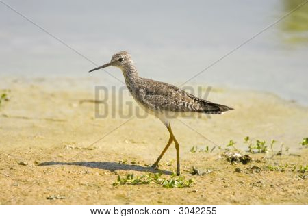Lesser Yellowlegs Foraging