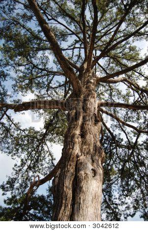 Aging Cedar Tree