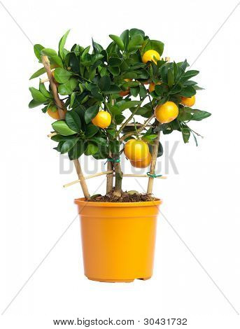 Tangerine tree with yellow fruits in yellow pot isolated on white