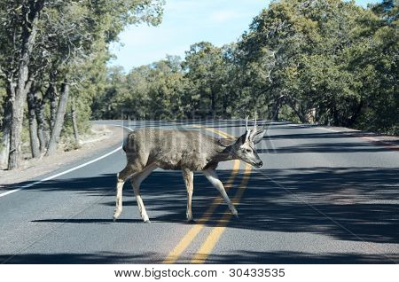 Deer Walking On The Road