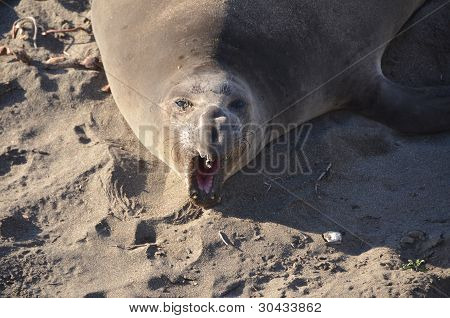 Elephant Seals Face