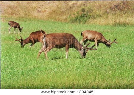 3 Bucks And Doe Feeding