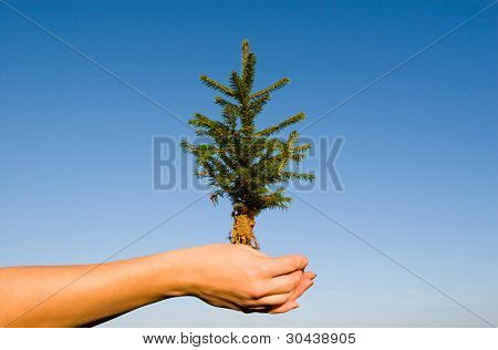 In female hands a small fir-tree.