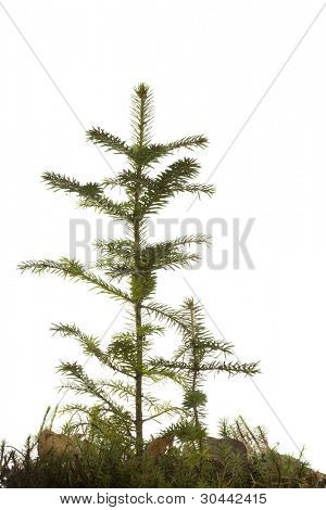 Two natural small Christmas fir tree(sapling) with a grass isolated on white. Fall.