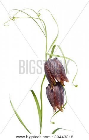 Spring wild flower Fritillaria Ussuriensis(Liliaceae) isolated on a white. It grows in the Primorskiy Kray. Russia.