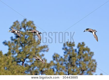 American Wigeon Ducks Flying