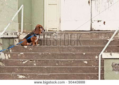 Basset Hound Dog At Abandoned Building
