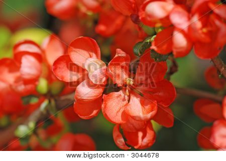 Quince Flowers In Bloom