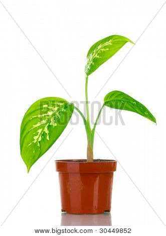 beautiful Dieffenbachia in flowerpot isolated on white