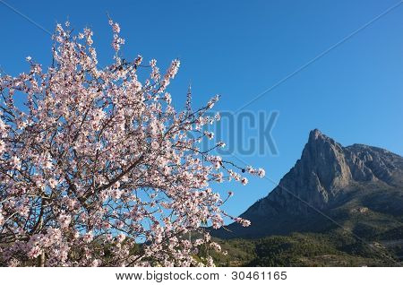 Almond Tree In Finestrat