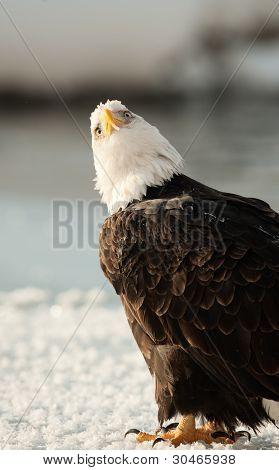 Close Up Portrait Of A Bald Eagle