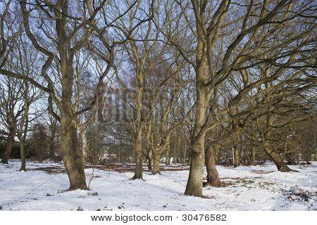 Árvores dormentes na neve