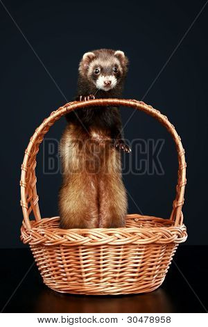 Ferret In Wattled Basket