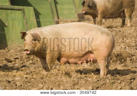 Pig And Fence