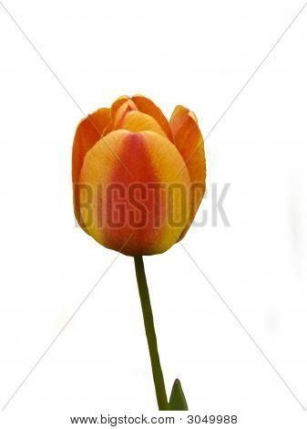 Tulip Flair