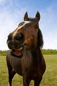 picture of horse head  - the fun laughing horse on green field - JPG