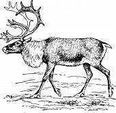 Deer rangifer tarandus