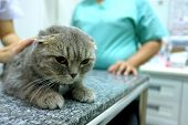 Scottish Fold Tabby Cat Visiting Veterinarian . She Was Checking The Health By The Vet On Table In E poster