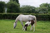 picture of fillies  - Newborn filly foal having trouble mastering the art of grazing - JPG