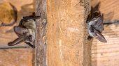 Two Grey Long-eared Bats (plecotus Austriacus) Is A Fairly Large European Bat. It Has Distinctive Ea poster